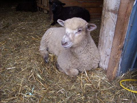 Sheep in a barn.