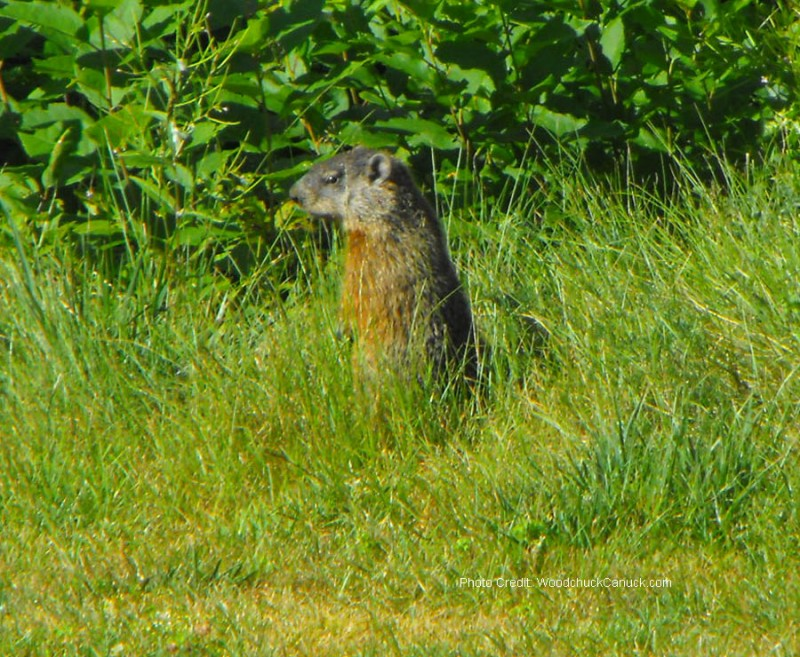 wildlife,animals,gophers in Nova Scotia