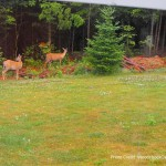 Deer visit,wildlife
