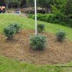 dwarf burning bushes,landscaping,gardening
