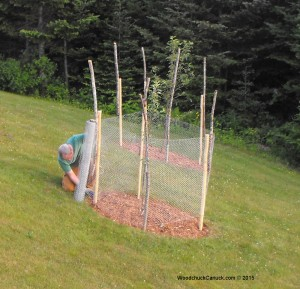 wrapping apple trees,wooden stakes,chicken wire,landscaping,gardening