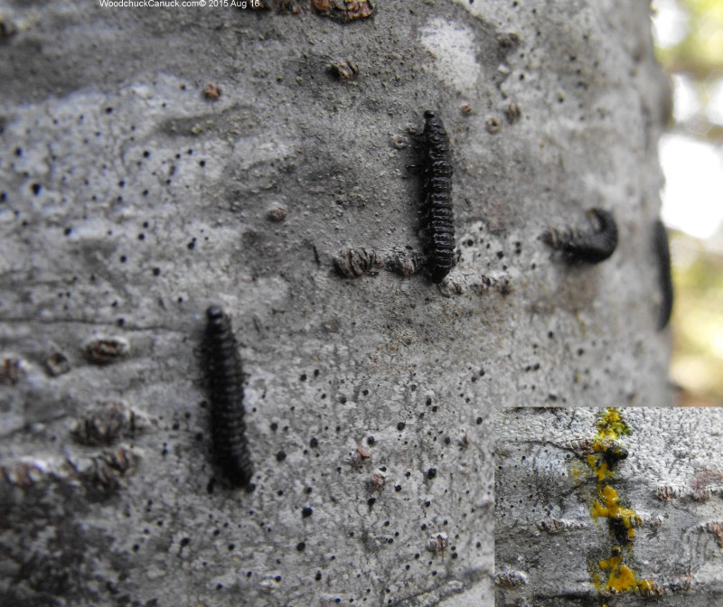 bugs,forestry,insects,caterpilars