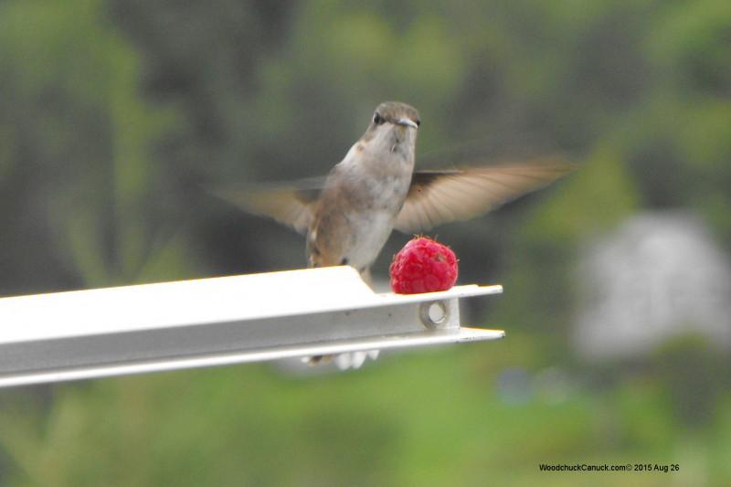 wild raspberries,hummingbirds,nature,wildlife