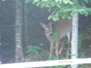 deer,fawns,animals,wildlife