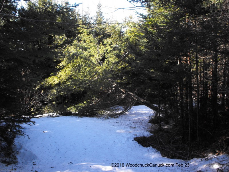 pine trees,fallen,snow load