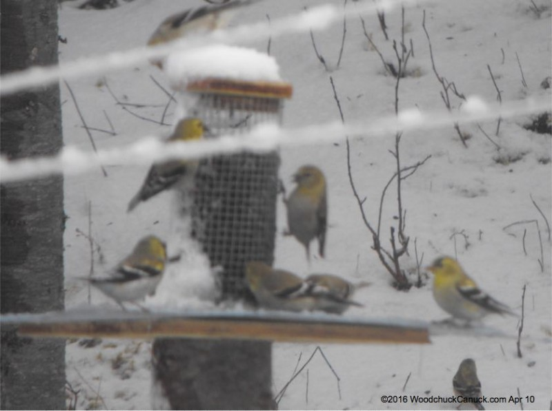 birdfeeders,goldfinches