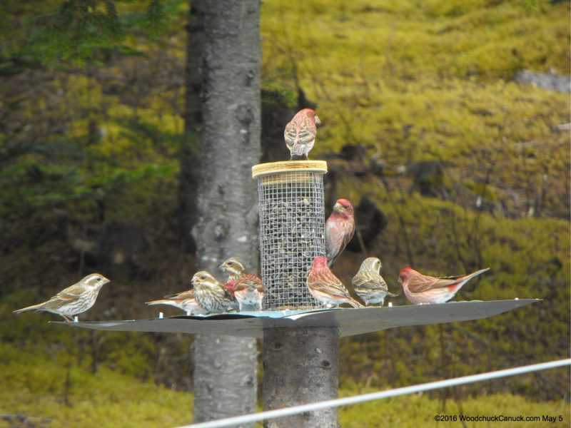 birdfeeders,purple finches,sparrows