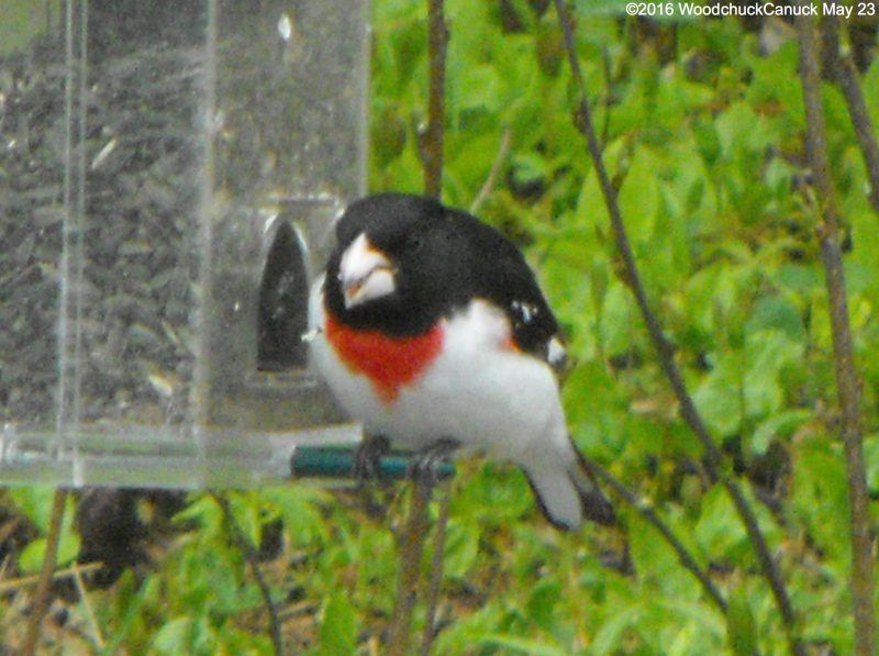 rose-breasted grosbeaks,animals,birds,wildlife