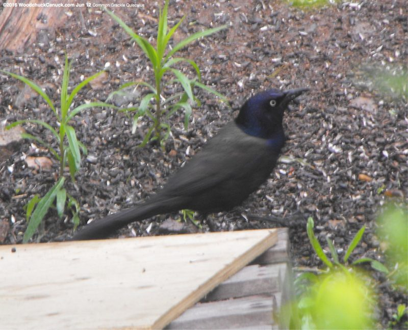 nature,birds,Common Grackle Quiscalus
