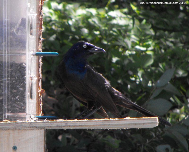 feeding,Common Grackle,birds,animals,wildlife,yellow eyes