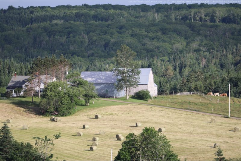 homesteading,farm,cows,Loch Katrine,Nova Scotia