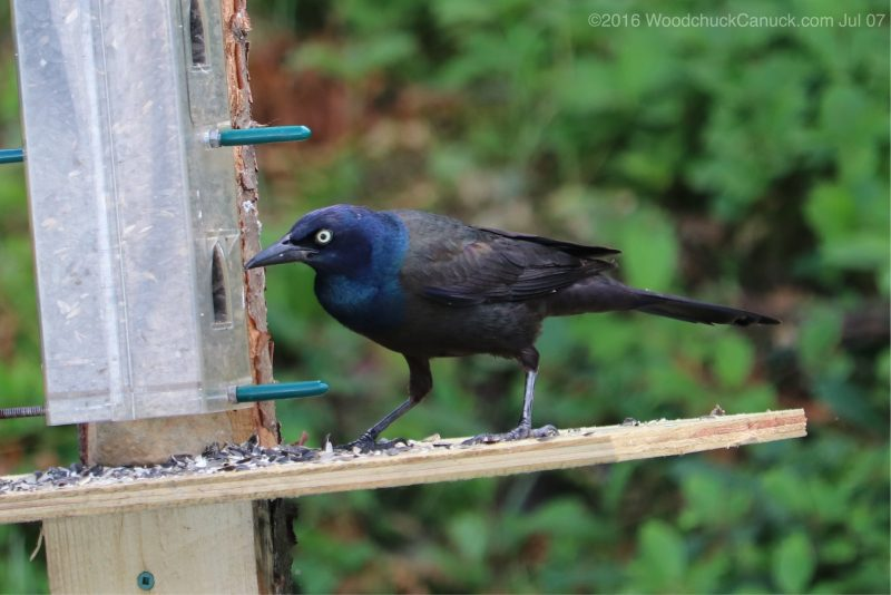birds,animals,wildlife,nature,Common Grackle