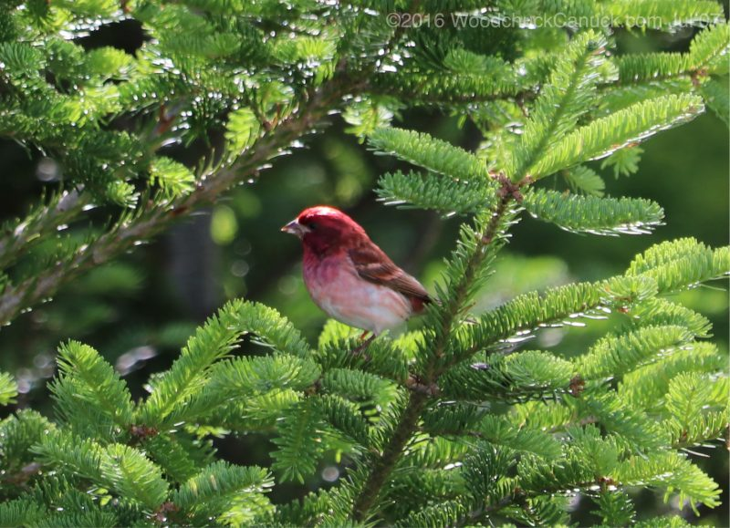 birds,animals,wildlife,nature,Purple Finches