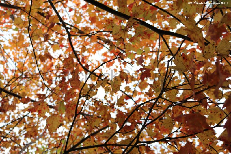 fall colors,leaves,forest