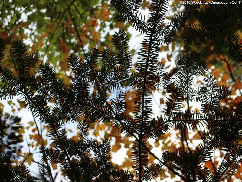 forest,trees,Balsam Fir,fall maple leafs