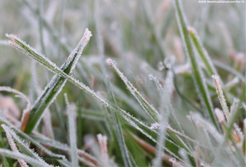 frost,grass,winter is coming