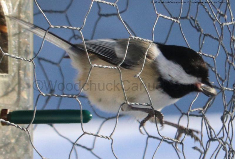 chickadees,animals,birds,cold weather,winter,birdfeeders