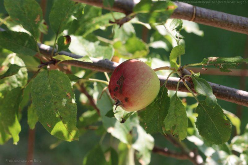 apple trees,gardening,landscaping