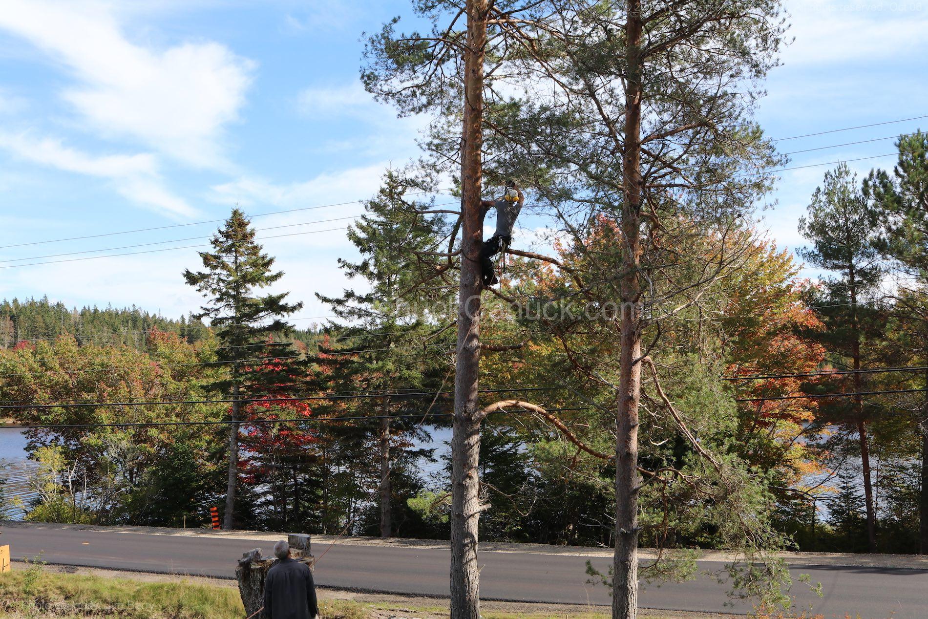 Felling pine trees