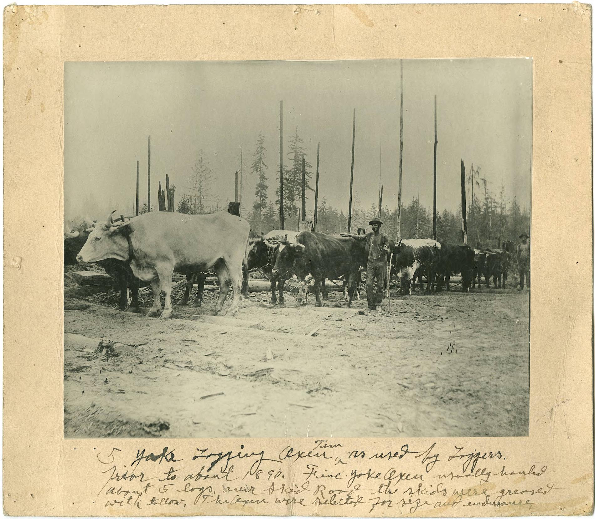 1890-Five-yoke logging oxen team (front side).
