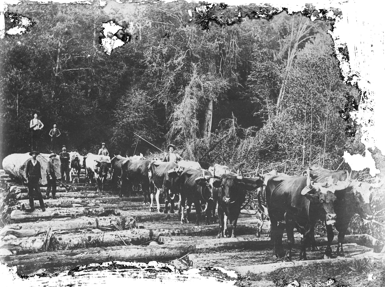 1890 Men using a team of oxen.