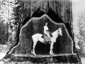 Woman on horse, standing in a hinge cut of a massive tree.