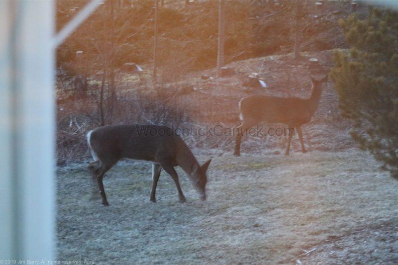 deer, animals, wildlife, Nova Scotia