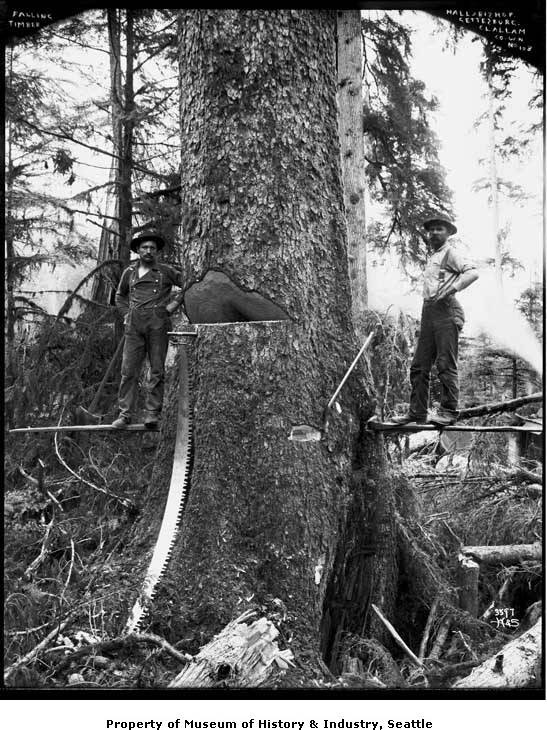 1905 Fallers cutting a tree.