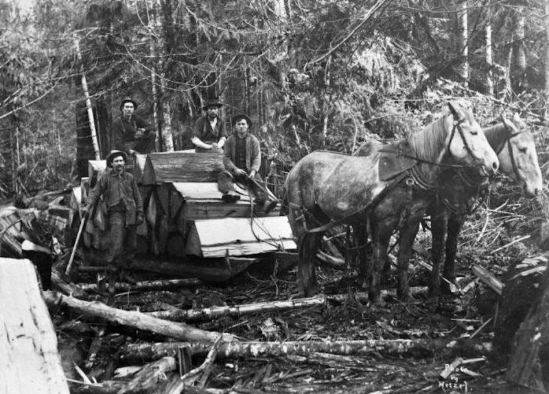 1890 Horses hauling shingle bolts for Wait Shingle Mill.