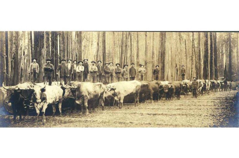 1893-1906 Large team of oxen with men standing on log behind them, Washington