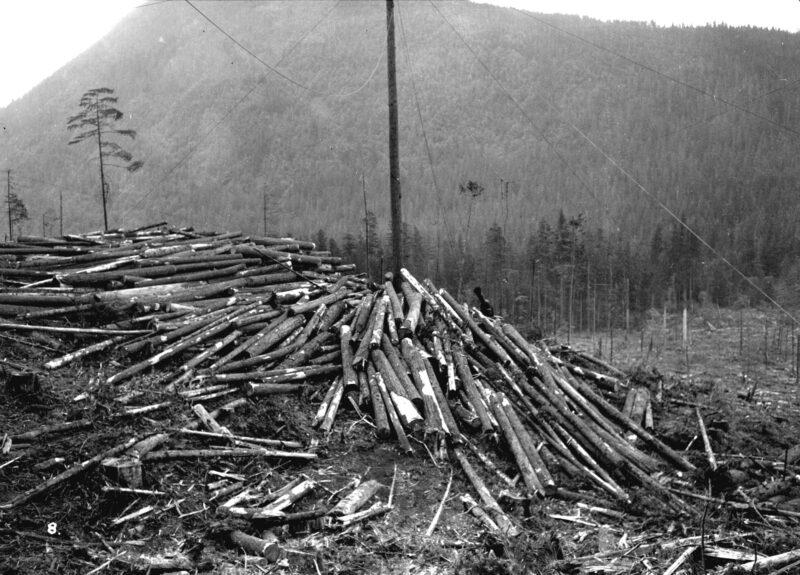 1932 Green Point Logging Co. Ltd., spar tree.