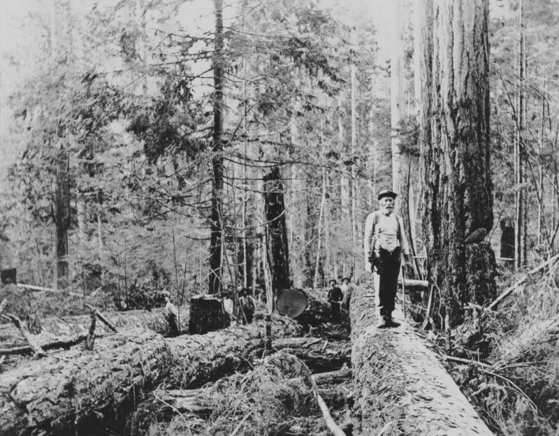 1890s Loggers posing on top of felled tree.
