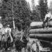 1890s Logging Horses. - close up