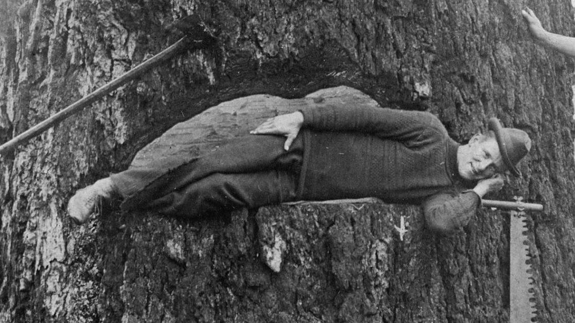 1910 Tree felling using spring boards.