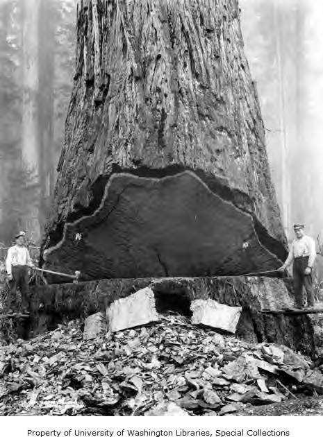 1915-1945 Fallers and large redwood tree, unidentified logging operation, Humboldt County, CA.