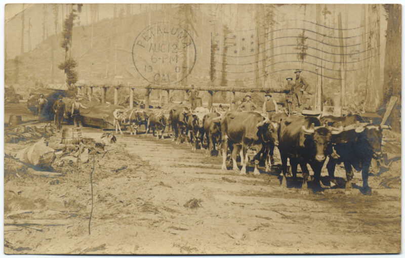 1907 Ox team hauling logs in Grizzy Bluff, Humboldt Co.