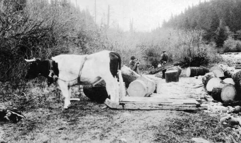 1930 Freighting logs with oxen.