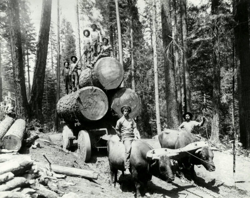 Men use oxen to transport timber in the Pacific Northwest.