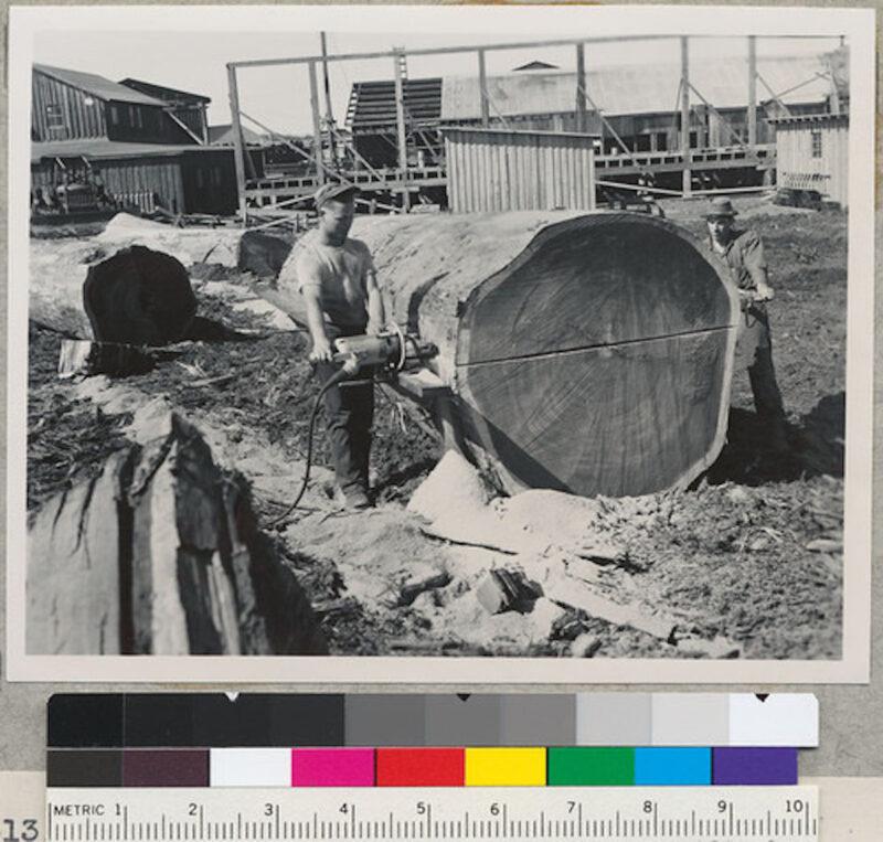 1950 Coast Redwood Company, near Samoa, California.