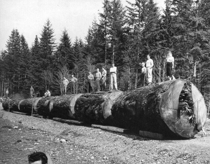1940-1948, People lined up on top of a large Douglas Fir felled by Tahsis Company at Gold River.