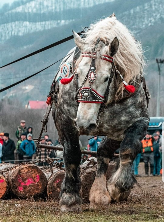 Horse hauling logs at a competition.