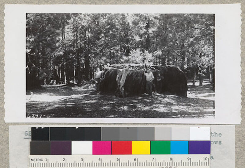 1942 The 14-ft. stump of Sequoia gigantea at the north side of clearing at Whitaker's Forest.