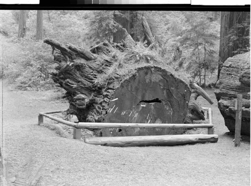 1949 The History of a Fallen Giant, Richardson Grove, Calif.