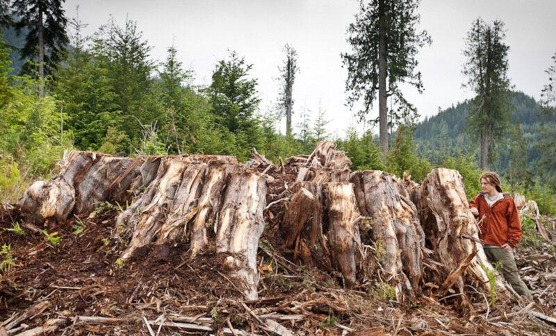 2010 massive cedar stump, Gordon River BC