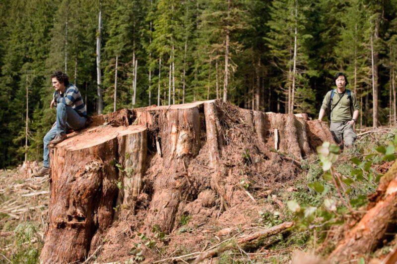 2011 Ancient red cedar cut, stump in Gordon River Valley.