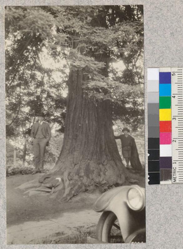 1924 48 year old redwood on Vista Avenue, Portland, Oregon.