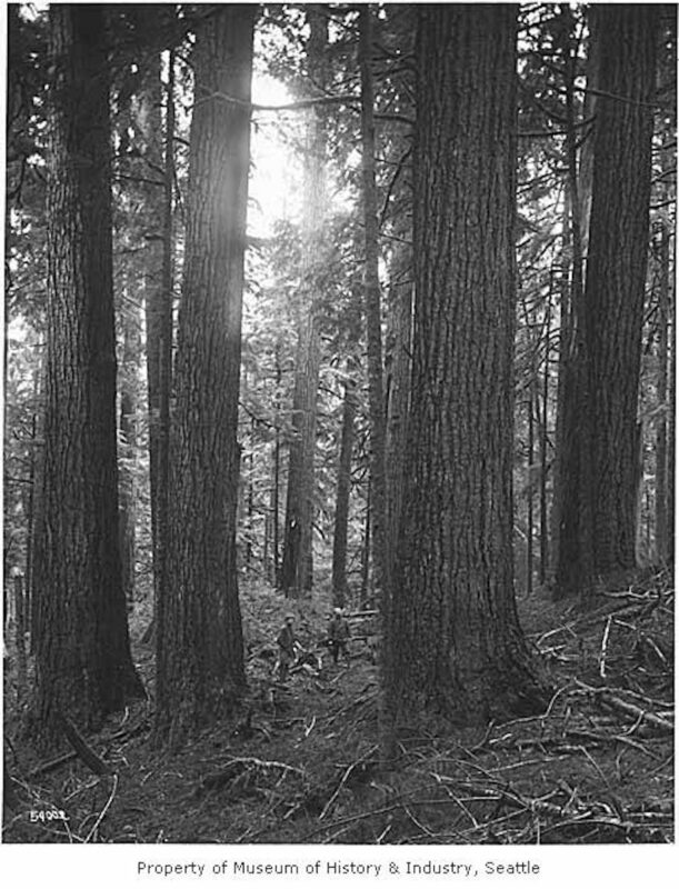 1917 Loggers amidst large trees