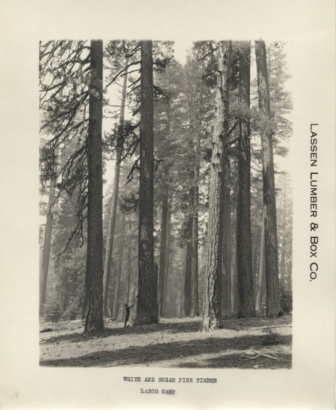 1923 White and Sugar Pine.