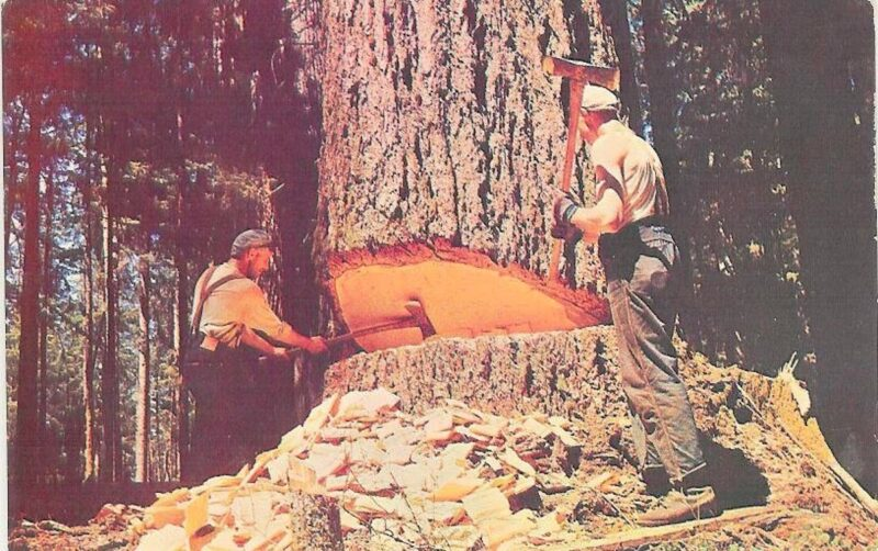 Woodsmen hinge cutting a large tree with axes.