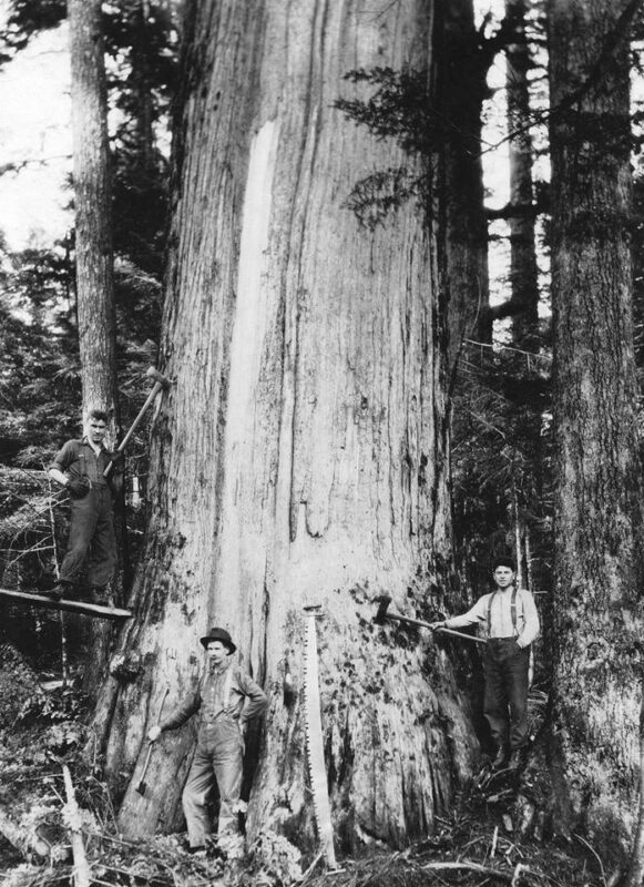 Woodsmen ready to harvest a large tree.